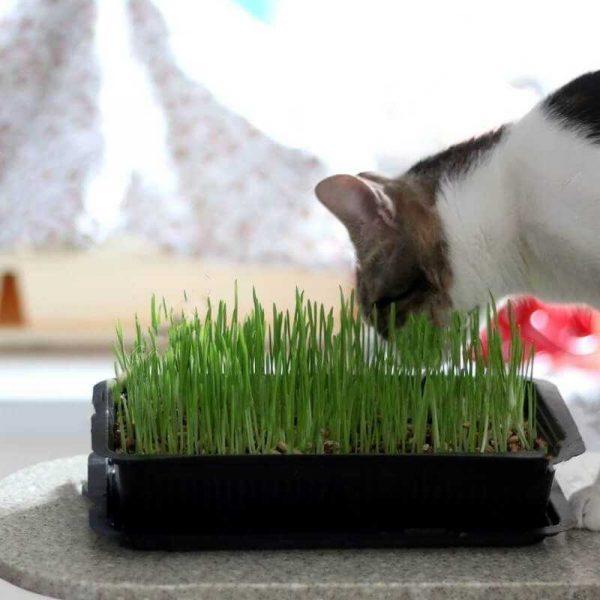 Catit Pasto Para Gatitos